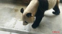 大熊猫瘦成皮包骨 牙疼导致暴瘦 回应正在恢复中