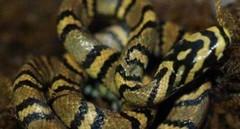 中国繁育最美蛇 存活率极低 繁育技术高