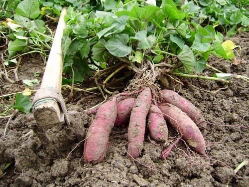 红薯生长过程步骤图
