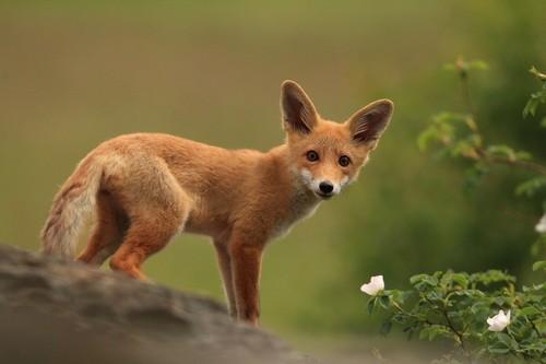 野生动物摄影师镜头下的狐狸-中关村在线
