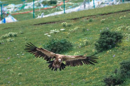 当地人认为鹫鹰是一种神圣的动物