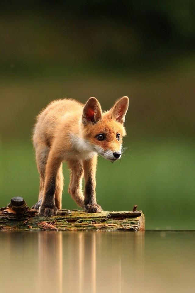 萌死个人 野生动物摄影师镜头下的狐狸