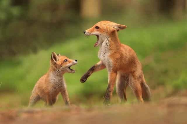野生动物摄影师镜头下的狐狸
