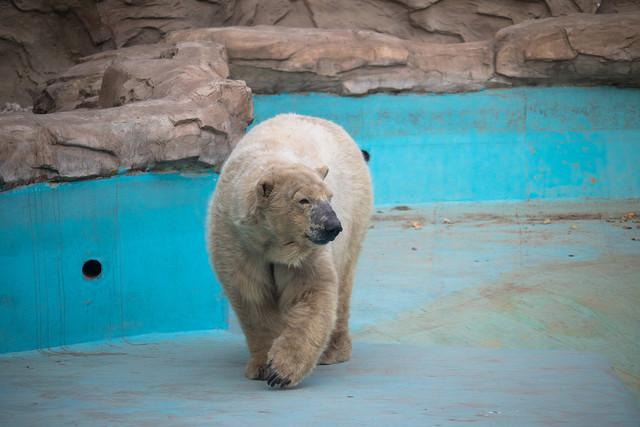 饱经沧桑的面容 北极熊的视力和听力与人类相当,但它们的嗅觉极为灵敏,是犬类的7倍;奔跑时最快速度可达60km/h,是世界百米冠军的1.5倍。由于全球气温的升高,北极的浮冰逐渐开始融化,北极熊昔日的家园已遭到一定程度的破坏,在未来的不久很可能灭绝,需要人类的保护。
