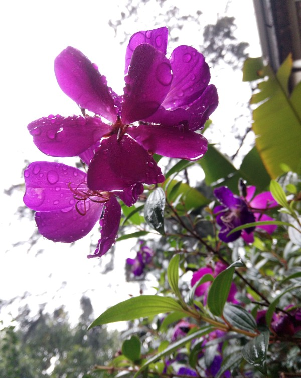 盛开的紫色牡丹花