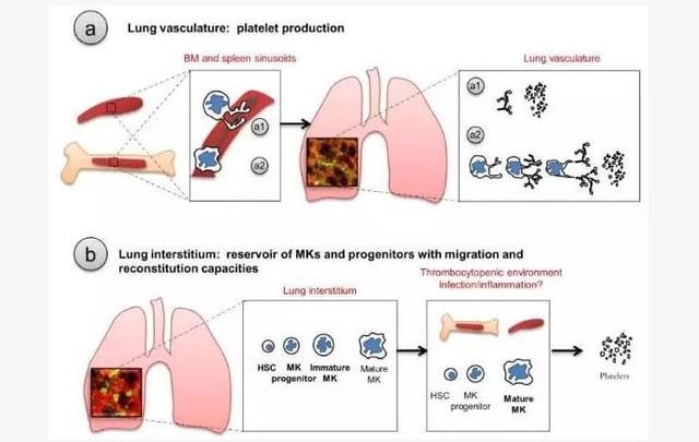 呼吸系统的核心-肺 竟是造血新大陆