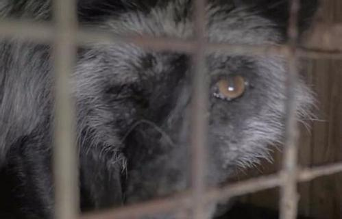狐狸被养成怪物 为了利益这样伤害小动物