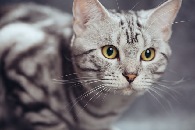 1/200s F3.2 ISO 100 英气十足的小帅哥   每只猫都有自己独特的个性,这只成年的猫,就少了一些幼猫的呆萌,多了一些英气与俊朗。我们在拍摄的时候,要紧盯取景器,随时留意宠物的表情变化,抓拍到最能表达其个性的瞬间。