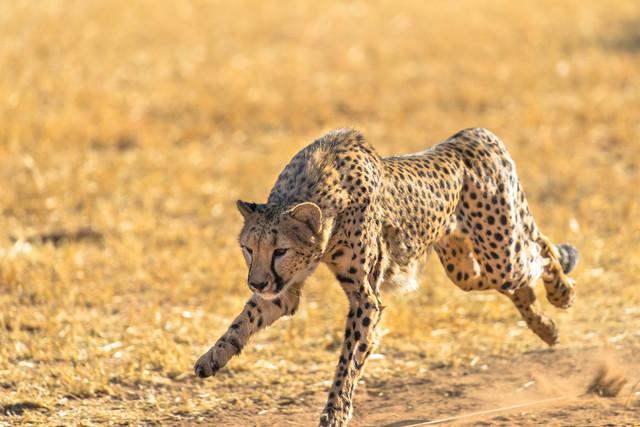 猎豹是世界上奔跑得最快的动物,它的时速
