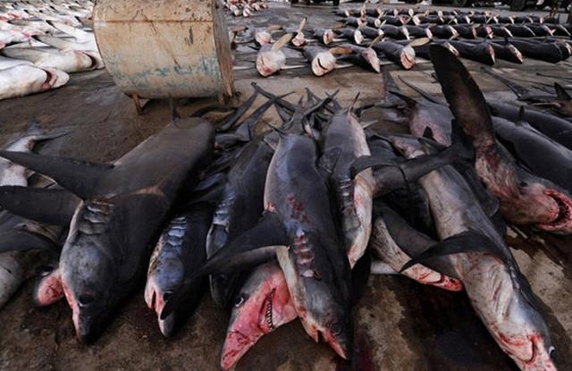 震惊!迪拜海鲜市场成群的鲨鱼和鱼翅