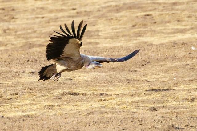 索尼微单A6500 拍摄高山秃鹫