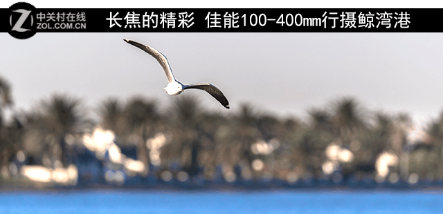 长焦的精彩 佳能100-400mm行摄鲸湾港