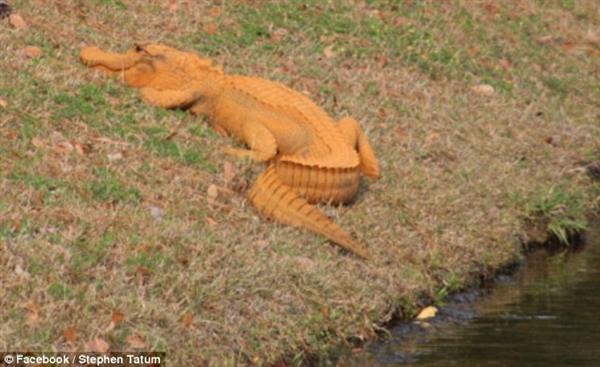 """网友戏称""""特朗普鳄"""" 美国惊现黄色鳄鱼"""