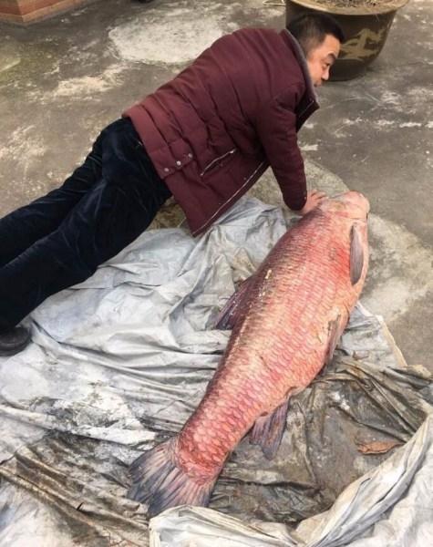 网友看呆 男子鱼塘钓出104斤巨型大鱼